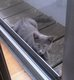 Jeune chat bleu russe X européen dispo pour...