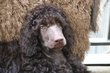 Brown Standard Poodle puppy