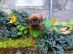 Adorable cavalier king charles   tricolore femelle