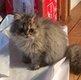 Charmants chatons persan disponibles de suite
