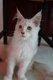 Magnifique chaton maine coon disponible au 20...