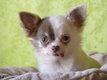 Chiots Chihuahua