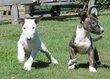Chiots Bull Terrier: brun-blancs, noir-blancs,...