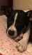Adorable chiot croisé Jack Russell/Chihuahua  à...