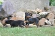 Chiots Pinscher nain: brun et noir-feu