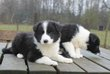 Chiots Border Collie: noir-blanc