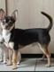 Chihuahua mâle 2kg5 de 2 ans