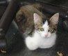 Wilson, très beau chaton mâle blc et tigré poils...