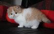 Chatons persans  à réserver