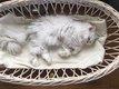 Perdu chat blanc persan