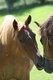 Petit cheval [cherche] famille sous contrat.