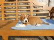 Chiots beagle tricolore et bicolore