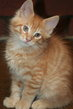 Manifique chatons maine conn a reserver politactyl