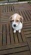 A donné croisé beagle femelle
