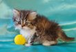 Magnifiques chatons Persans disponibles à la...