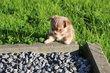 Les Chihuahua du Lys Argenté poils long