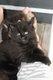 Chaton maine coon mâle black solide