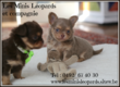 Chiots Chihuahuas disponibles