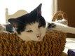 Sparrow, chat mâle yin et yang très affectueux de...