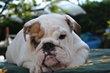 Magnifique chiots bulldog anglais disponible