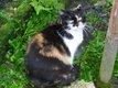 Félicie, très belle chatte tricolore de 7 ans...