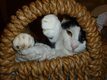 Masha, belle chatte yin et yang aux yeux d'or de...