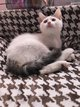 Adorable chaton croisé maine coon