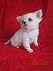 Chihuahua Of Tierras Calientes à poils longs
