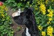 Jolie chienne croisée border collie à donner
