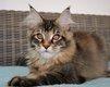 Très agréable et doux chatons Maine Coon.
