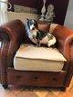 Superbes chiots Bull Terrier Miniature