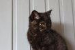 Superbe chaton Brish sh, femelle noir tortie