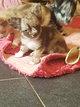 Chiots chihuahuas(dont mini)