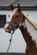 Ravissant petit cheval né en 2014