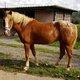 Chouette jeune cheval 5ans débourré 1m60