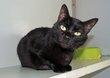 Louna - chatte noire - spa la louviere