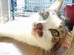 Pimprenelle - chatte tigrée et blanche - spa la...