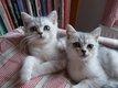 Adorables chatons mâles gris-argent Scottish...