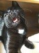 Magnifique chat noir & blanc à donner
