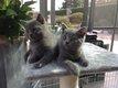Superbes chatons chartreux avec pédigrée