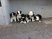 8 chiots border collie
