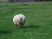 Moutons Bleu du Maine