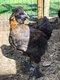 Coquelets croisés soie à donner / poulettes