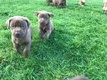 Magnifiques chiots Labrador - Braque de Weimar...