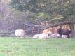 Moutons et brebis croisé Texel