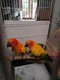 Couple de perruche soleil