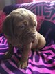 Chiots dogue de Bordeaux