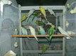 Perruches ondulées (jolis coloris)