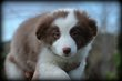 Chiots Border Collie chocolat