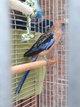 Grande perruche avec sa cage
